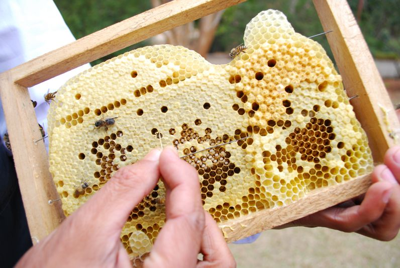 A picture of Brood Comb with several satges of brood, eggs , Larva and capped Image
